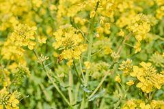 Yellow field during rapeseed bloom at the end of May, bee pollinating flowers royalty free stock photography