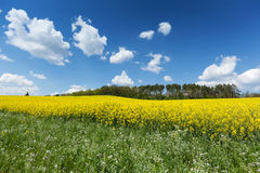 Blooming Rapeseed Field Stock Image