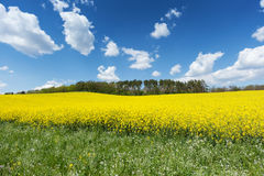 Blooming Rapeseed Field Stock Photography