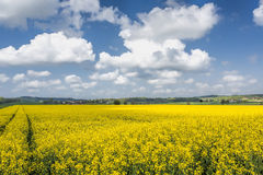 Blooming rapeseed field Stock Photo