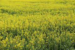 Blooming rapeseed Royalty Free Stock Image