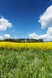 Blooming Rapeseed Field Stock Images