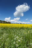 Blooming Rapeseed Field Royalty Free Stock Images