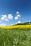 Blooming Rapeseed Field Royalty Free Stock Photo