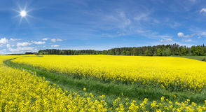 Blooming Rapeseed Fields With Meadow Path Stock Photo