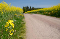 Blooming rapeseed flowers Royalty Free Stock Photos