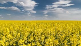 Blooming rapeseed under blue sky with white clouds. Brassica napus stock photography