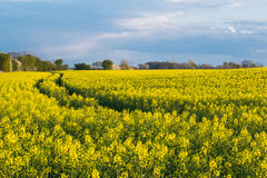 Blooming raps field. Beautiful field of blooming raps in Denmark Stock Photos
