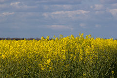 Blooming raps field. Beautiful field of blooming raps in Denmark Stock Photography