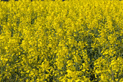 Blooming raps field. Beautiful field of blooming raps in Denmark Royalty Free Stock Photos