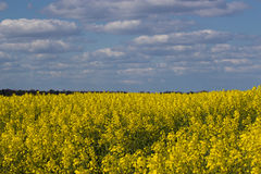 Blooming raps field. Beautiful field of blooming raps in Denmark Royalty Free Stock Photography