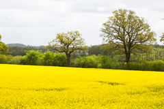 Blooming raps field. In northern Germany Royalty Free Stock Photography