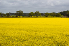 Blooming raps field. In northern Germany Stock Photography