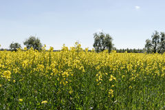 Blooming raps field. With trees in the background Royalty Free Stock Image