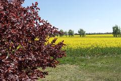 Blooming raps field. With trees in the background Stock Images