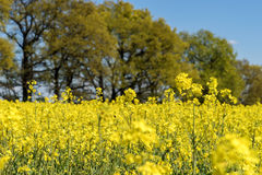 Blooming raps field. With trees in the background Royalty Free Stock Photography