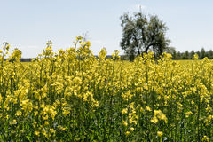 Blooming raps field. With trees in the background Stock Photos