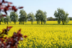 Blooming raps field. With trees in the background Stock Photo