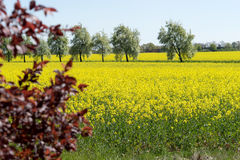 Blooming raps field. With trees in the background Stock Photography