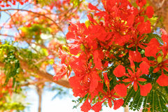 The blooming red acacia Stock Image