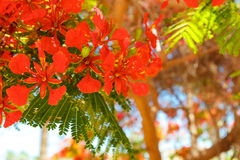 The blooming red acacia Royalty Free Stock Image