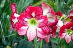 Blooming Red Amaryllis Royalty Free Stock Photo
