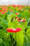 Blooming red anthurium plants in a Dutch greenhouse Stock Photo