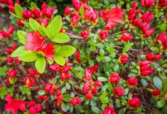 Blooming red azalea flower in spring garden. Gardening concept. Floral background.  royalty free stock photos