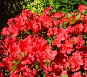 Blooming red azalea flowers in spring garden. Gardening concept. Floral background.  royalty free stock photography