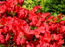 Blooming red azalea flowers in spring garden. Gardening concept. Floral background.  royalty free stock photo