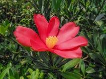 A blooming red camellia. Photo taken at xianghu botanical garden in shenzhen, China. It`s autumn stock photo