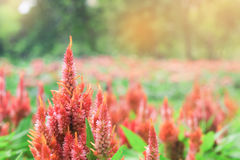 Blooming of Red Celosia argentea in garden Royalty Free Stock Images