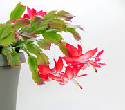 Blooming Red Christmas Cactus (Schlumbergera). Red Christmas Cactus flowers in bloom, showing leaves and pot, on white background Stock Photo
