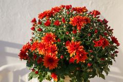 Blooming of a red chrysanthemum in green leaves in a bouquet at Royalty Free Stock Photos