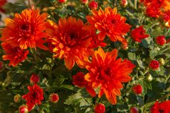 Blooming of a red chrysanthemum in green leaves in a bouquet at Stock Photography