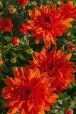 Blooming of a red chrysanthemum in green leaves in a bouquet at Royalty Free Stock Images