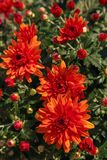 Blooming of a red chrysanthemum in green leaves in a bouquet at Stock Photos