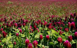 Blooming red clover field. Royalty Free Stock Photography