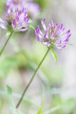 Blooming red clover (Trifolium) Royalty Free Stock Photos