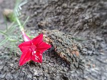 Blooming red Cypress vine flower on rough tree bark texture background in the garden stock photo