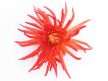 Blooming red dahlia. On white background Royalty Free Stock Photo