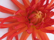 Blooming red dahlia. On white background royalty free stock image