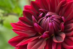 Blooming red dahlia Royalty Free Stock Photography