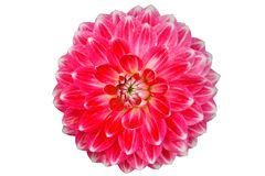 Blooming red dahlia flower isolated on white background Royalty Free Stock Photos