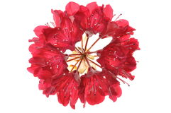 Blooming red flower Royalty Free Stock Photos