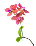 Blooming red flower child orchid isolated Royalty Free Stock Image