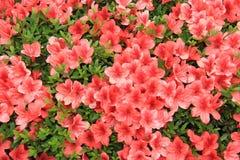 Blooming Red Flowers. Grown in Japan Stock Photo