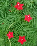 Blooming Red flowers of Cypress Vine o green leaves Stock Photography