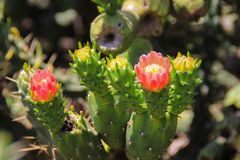 The blooming red flowers of the Opuntia cactus stock photography