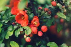 Blooming red flowers the shrub royalty free stock photos